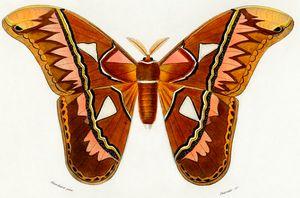 Attacus Atlas Moth illustrated