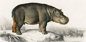 Hippopotamus illustrated