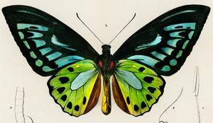Green birdwing illustrated