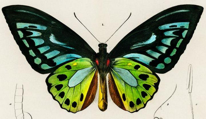 Green birdwing illustrated - Mutlu