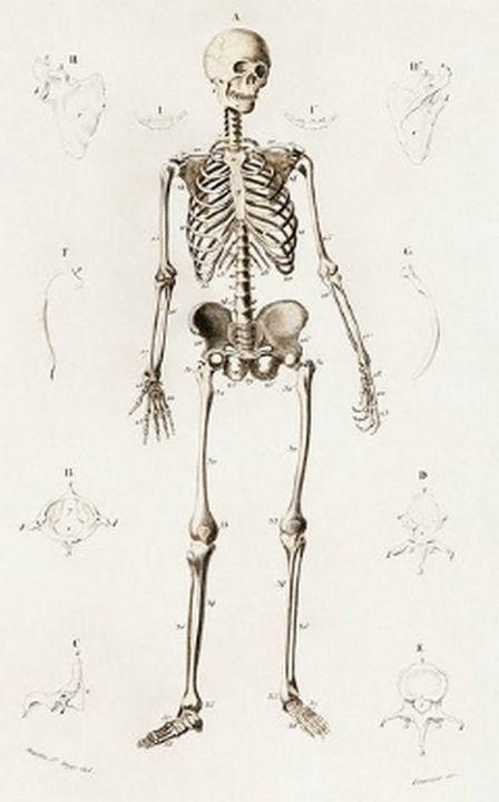 Human skeleton illustrated - Mutlu