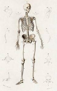 Human skeleton illustrated