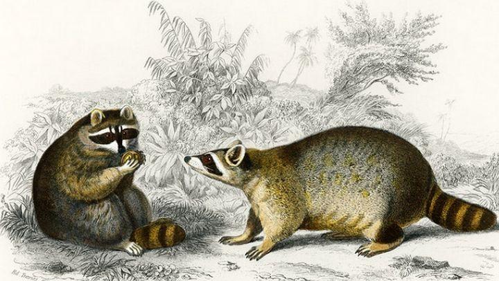 Raccoon illustrated - Mutlu