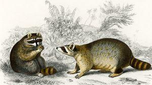 Raccoon illustrated