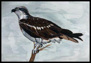 Wild Osprey W/ Boarder