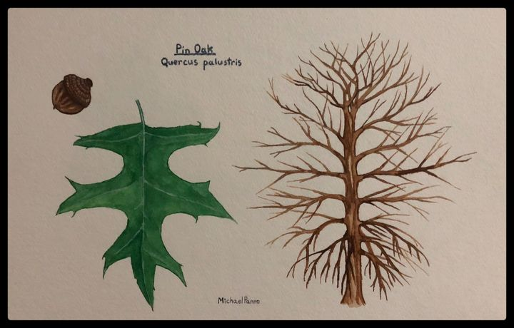 Pin Oak Tree ID - Michael Panno