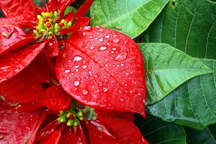RED FLOWER - MUKTI   ART  PHOTO 18