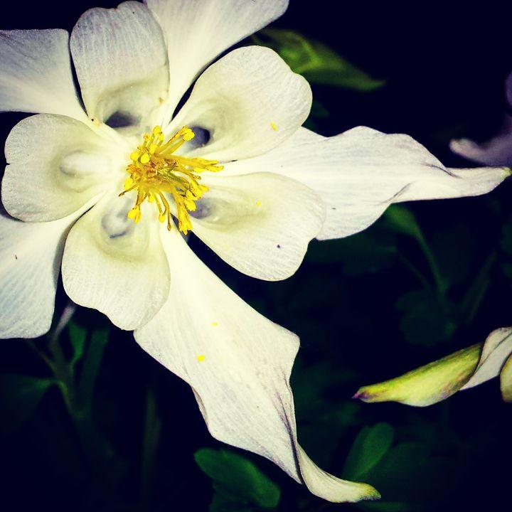 White Night Bloom - Amanda Hovseth