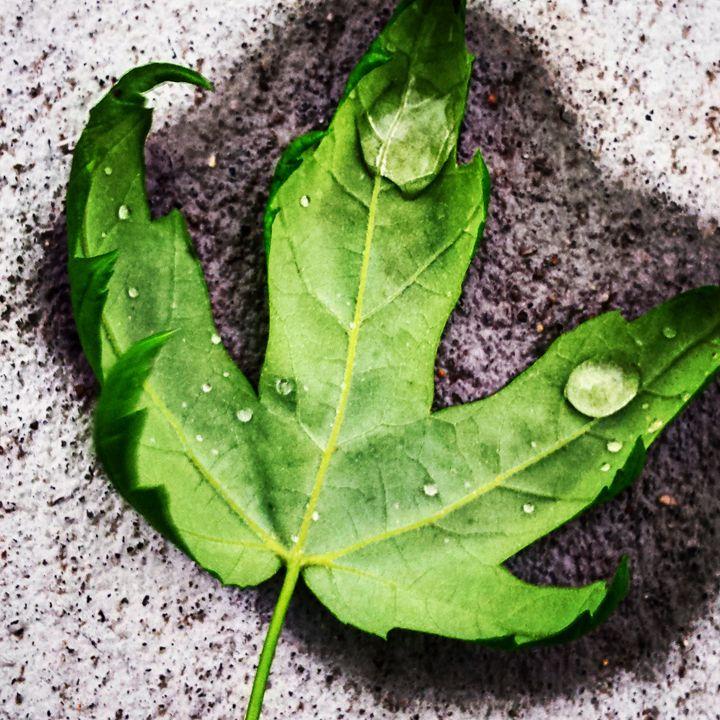 Raindrops and Green Leaves - Amanda Hovseth