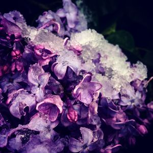 Snow and Lilacs 3 - Amanda Hovseth