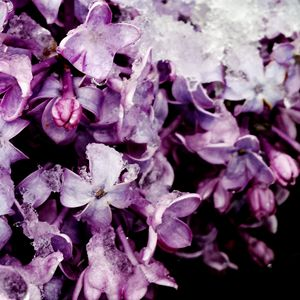 Snow and Lilacs - Amanda Hovseth