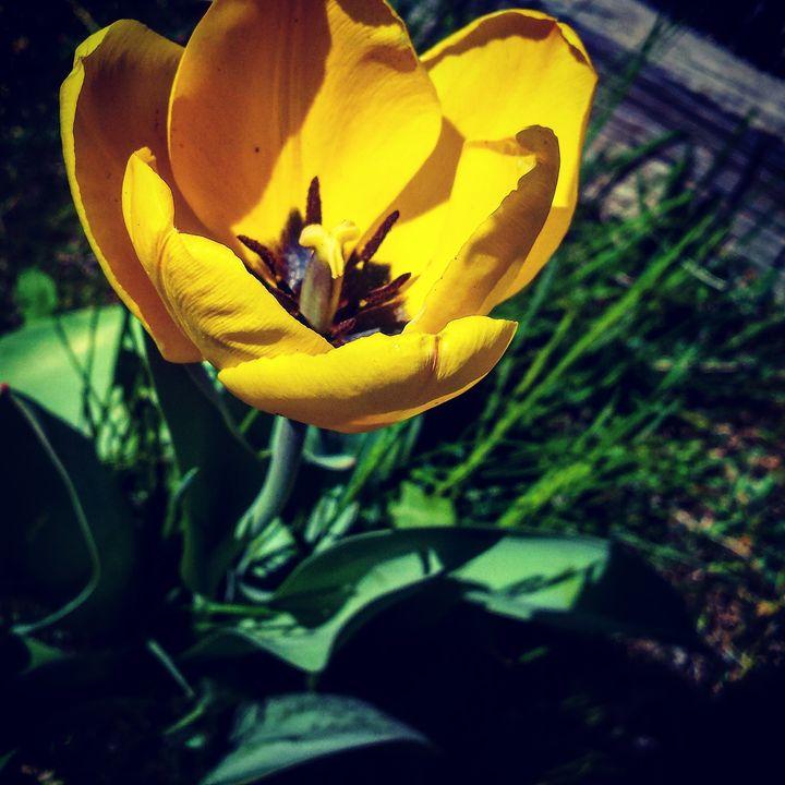 Tulips 3 - Amanda Hovseth