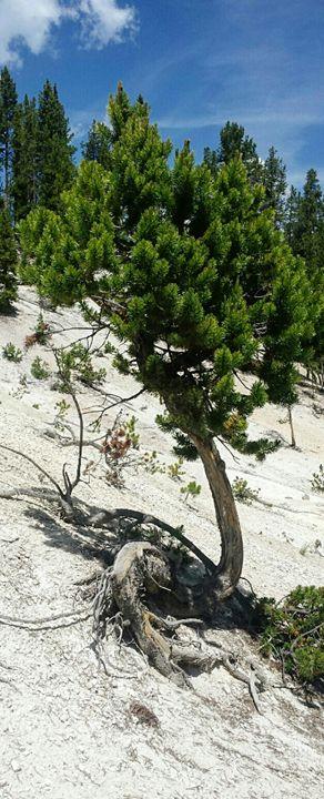 Sassy Tree 2 - Amanda Hovseth