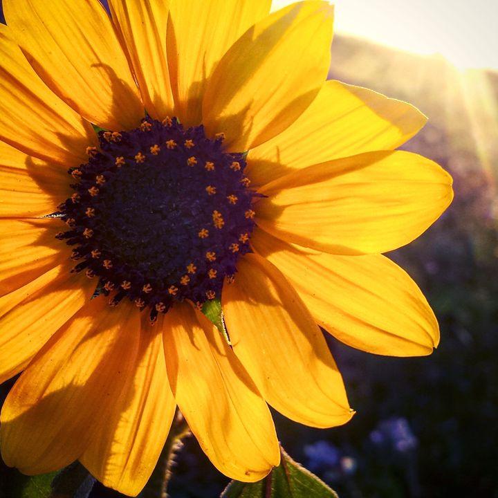 Sunkissed Flowers 2 - Amanda Hovseth