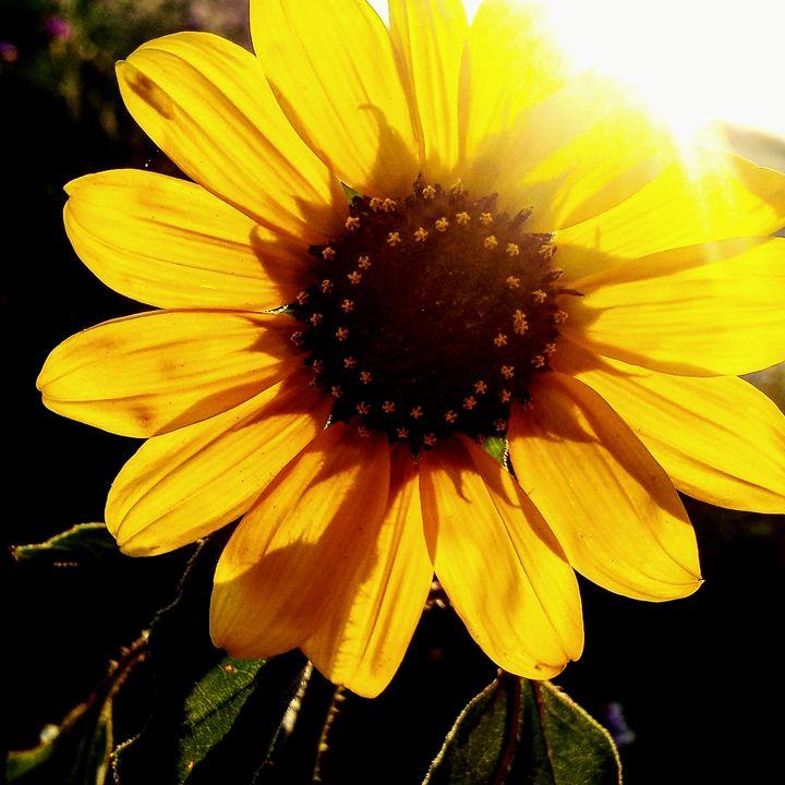Sunkissed Flowers 1 - Amanda Hovseth