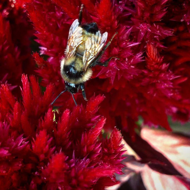 Bumble Bee on Milkweed 2 - Amanda Hovseth