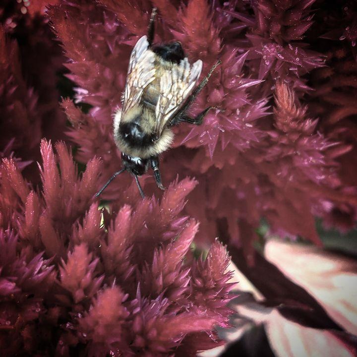 Bumble Bee on Milkweed - Amanda Hovseth
