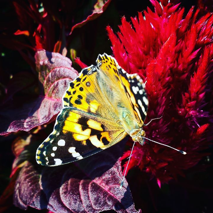 Monarch on Milkweed 2 - Amanda Hovseth