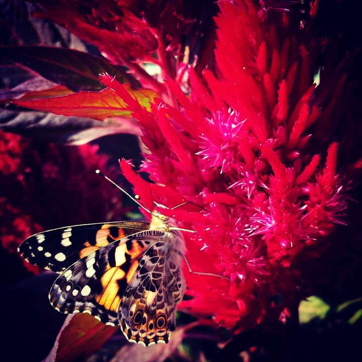 Monarch on Milkweed - Amanda Hovseth