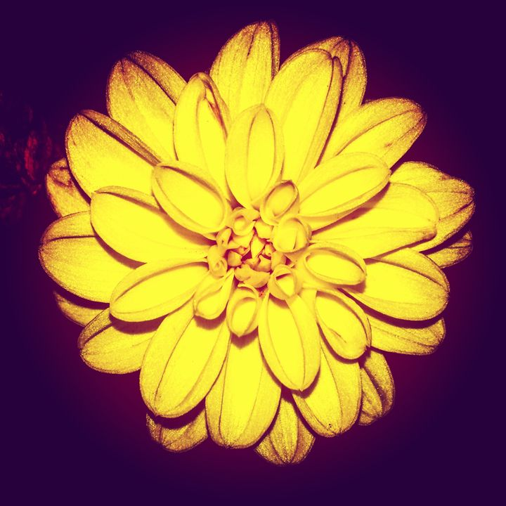 Shades of a Dahlia- 3 - Amanda Hovseth