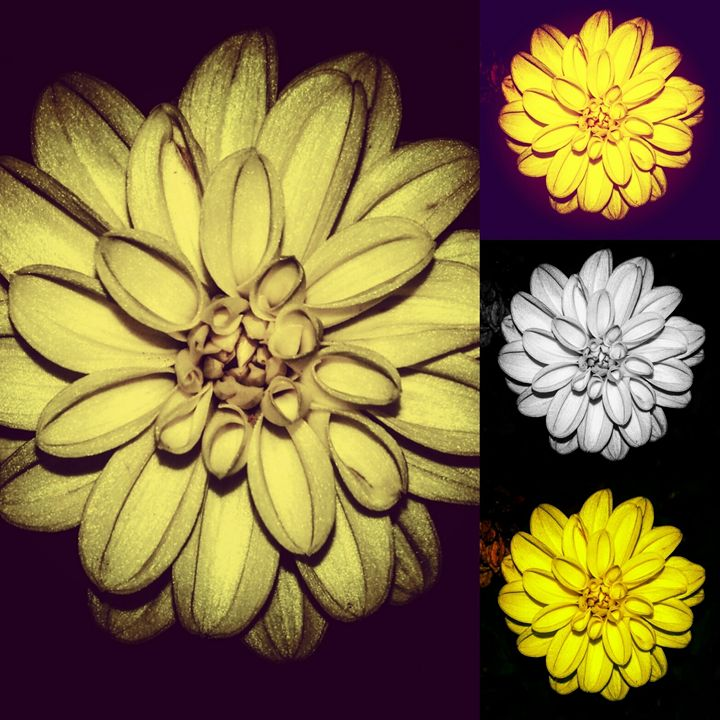 Shades of a Dahlia- Collection - Amanda Hovseth