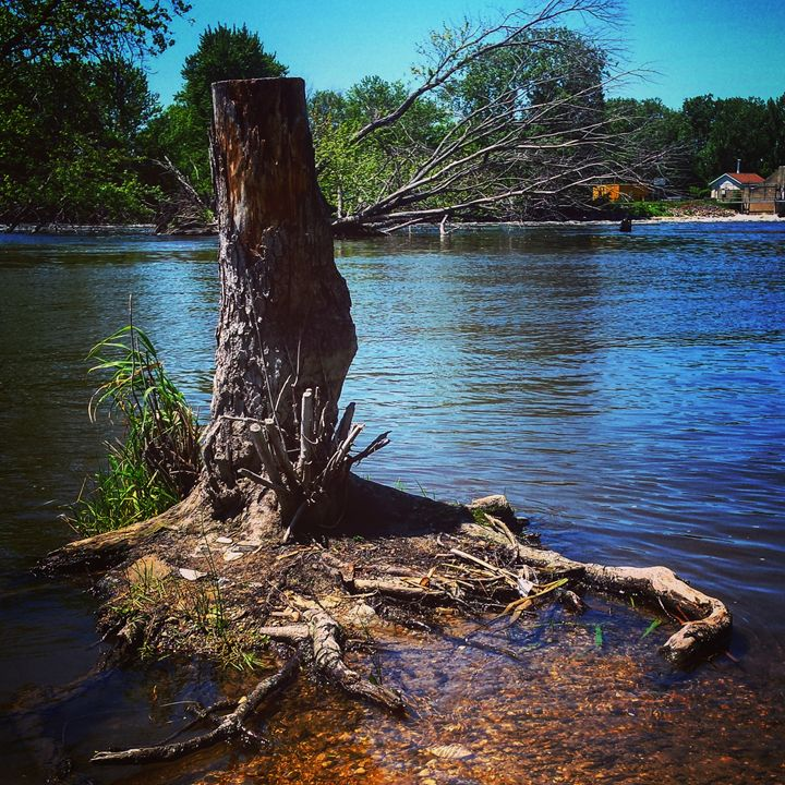 Tree Stump at the McHenry Dam - Amanda Hovseth