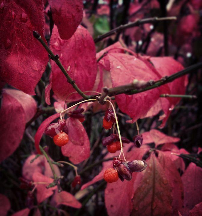 Winter Berries - Amanda Hovseth