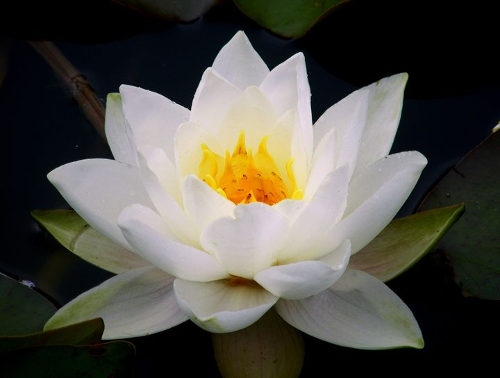 white water lily - nina ficur feenan