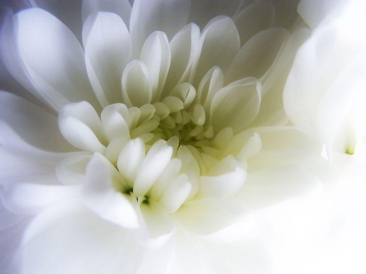 white gerbera - nina ficur feenan