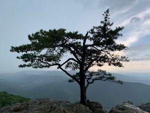 Blueridge Parkway tree