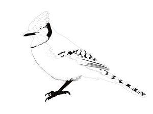 Minimalist Blue Jay