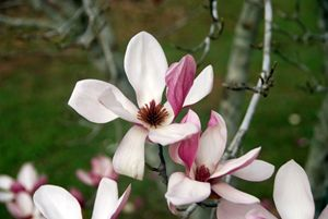 The Purple Magnolia