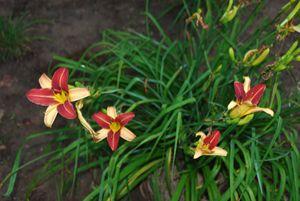 Quartet Lily