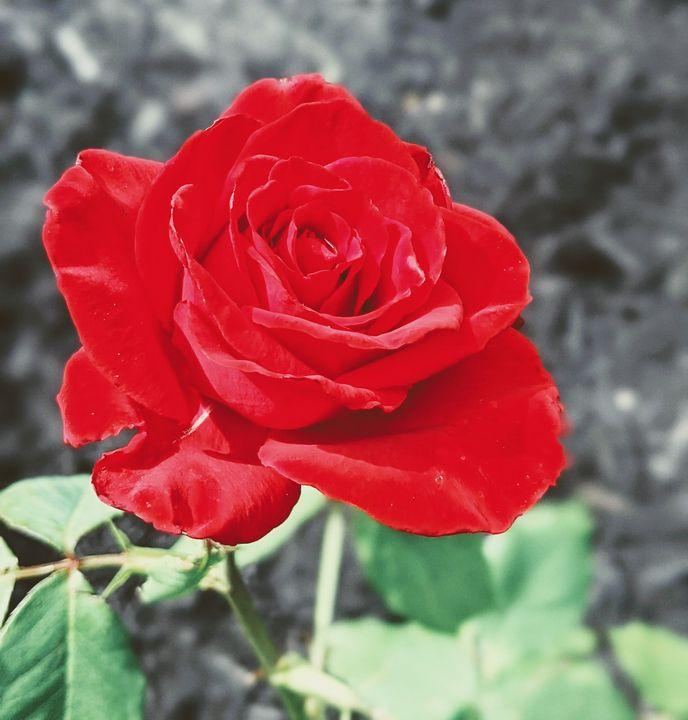Morning Rose - Tanishq Digital