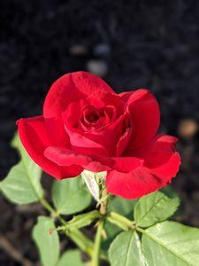 Pre-Teen Rose