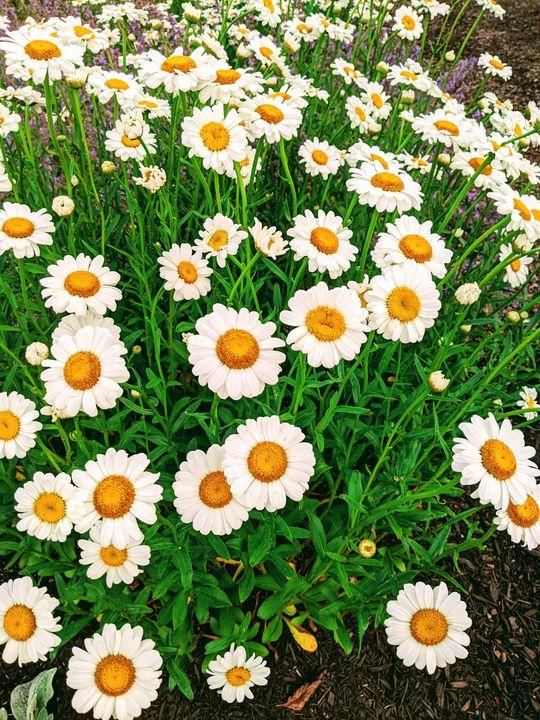 Smiling Daisy - Tanishq Digital