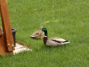 Mallard Duck Finds His Mate ..
