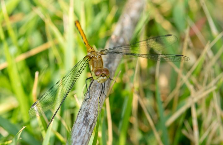 Dragonfly - Insect Photography