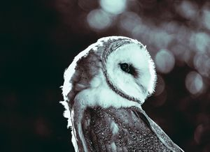 Stoic owl