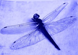 Dragonfly Frozen in Blue