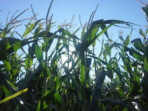 Light through top of cornstalks