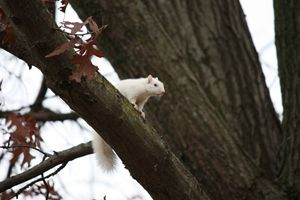 White squirrel in tree