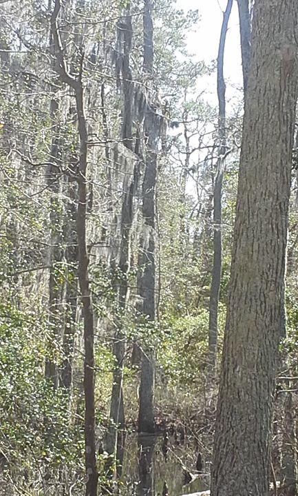 Moss in cypress trees - Selenika