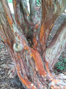 Multicolor tree bark