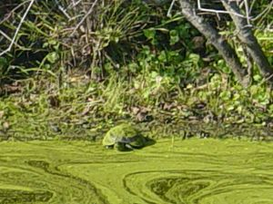 Turtle covered in algae
