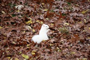 White squirrel in leaves