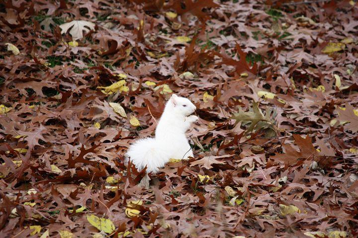 White squirrel in leaves - Selenika