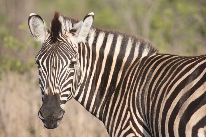 Zebra - Art Nightsy