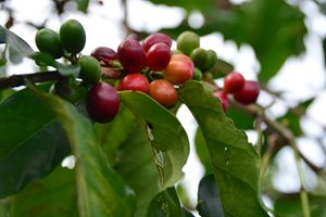 Coffee Cherries - LCB Creative