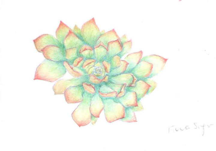 Succulent pencil drawing - Fiona Singer